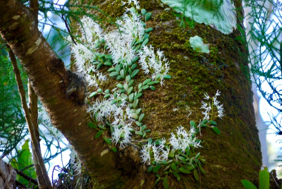 Central Station - Wunderschöne Orchideen, die auf Bäume klettern - Fraser Island - Queensland