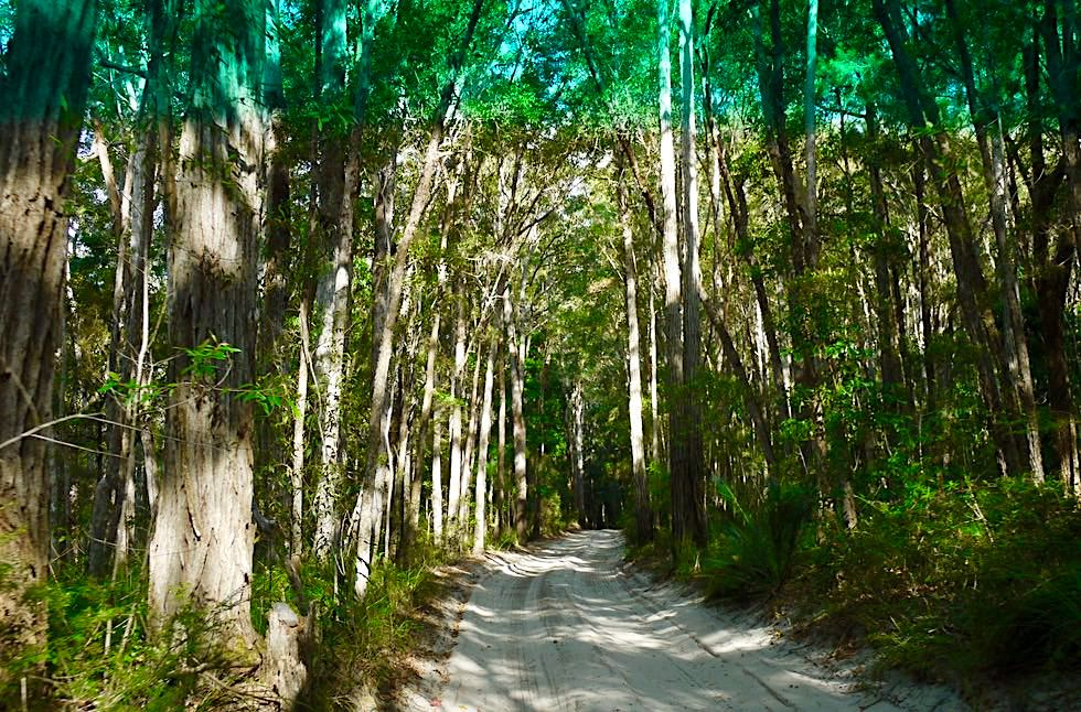 Faser Island - Insel-Durchquerung führt durch dichten Wald - Great Sandy National Park - Queensland