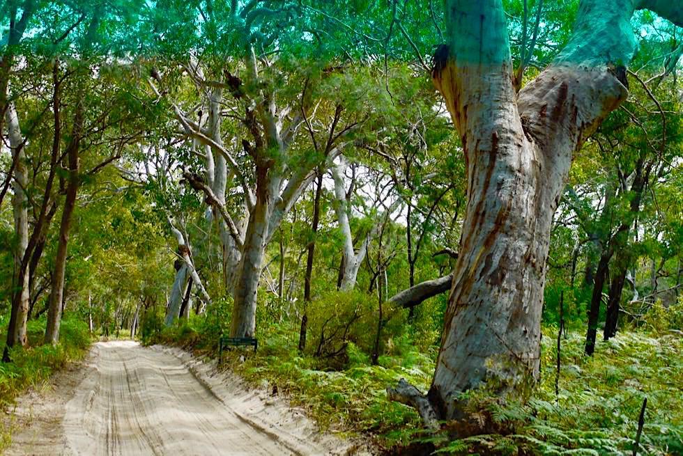 Fraser Island - Lichter Eukalyptenwald im Inselinnern - Queensland