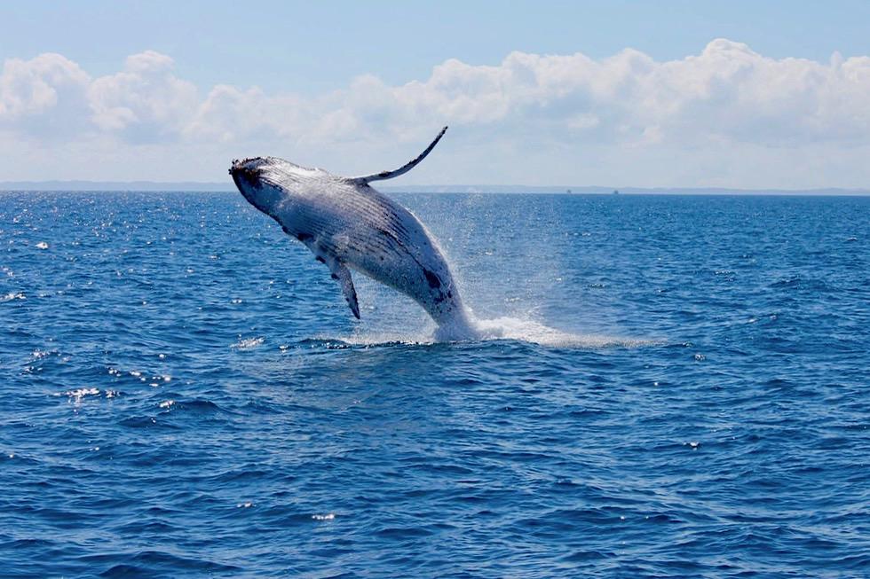 Hervey Bay - Buckelwale oder Humpback Whale beim Bleaching (aus dem Wasser springen) - Queensland