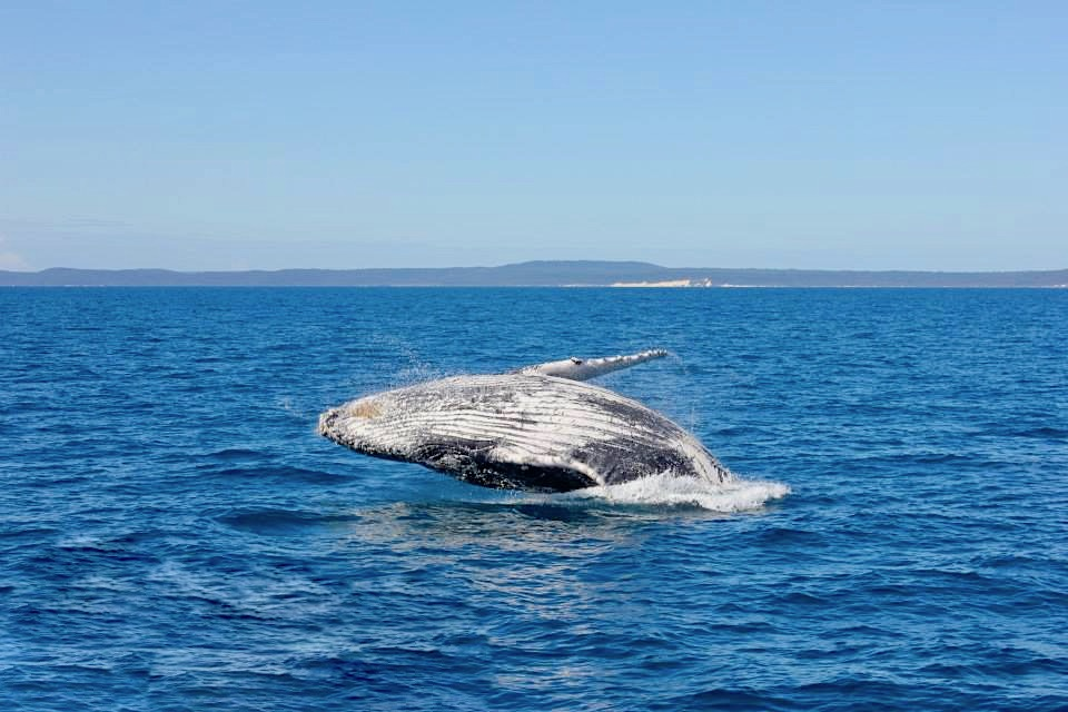 "Hervey Bay - Buckelwale beim Springen ""Bleaching"" - Freedom Whale Watch - Queensland"
