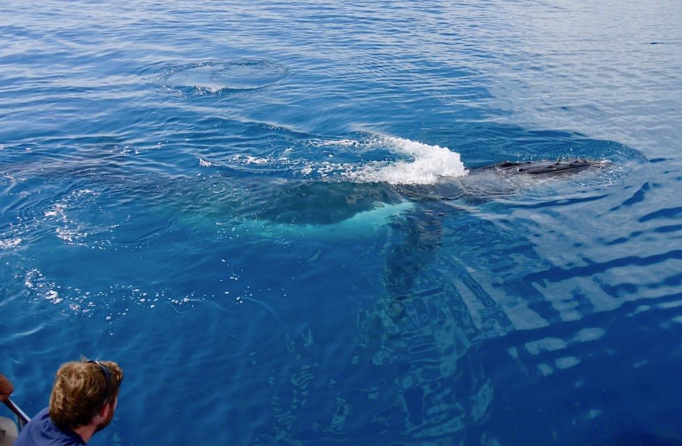 Hervey Bay Walbeobachtungstouren - Unterschiede, auf die du achten solltest - Queensland