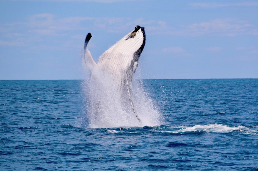 Humpack Whales Breaching - Freedom Whale Watch - Hervey Bay - Queensland