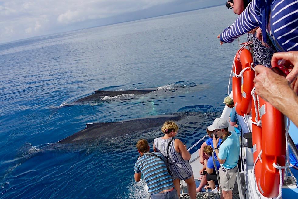 Humpback Whales oder Buckelwale von dem Oberdeck der Freedom III aus beobachtet - Hervey Bay - Queensland