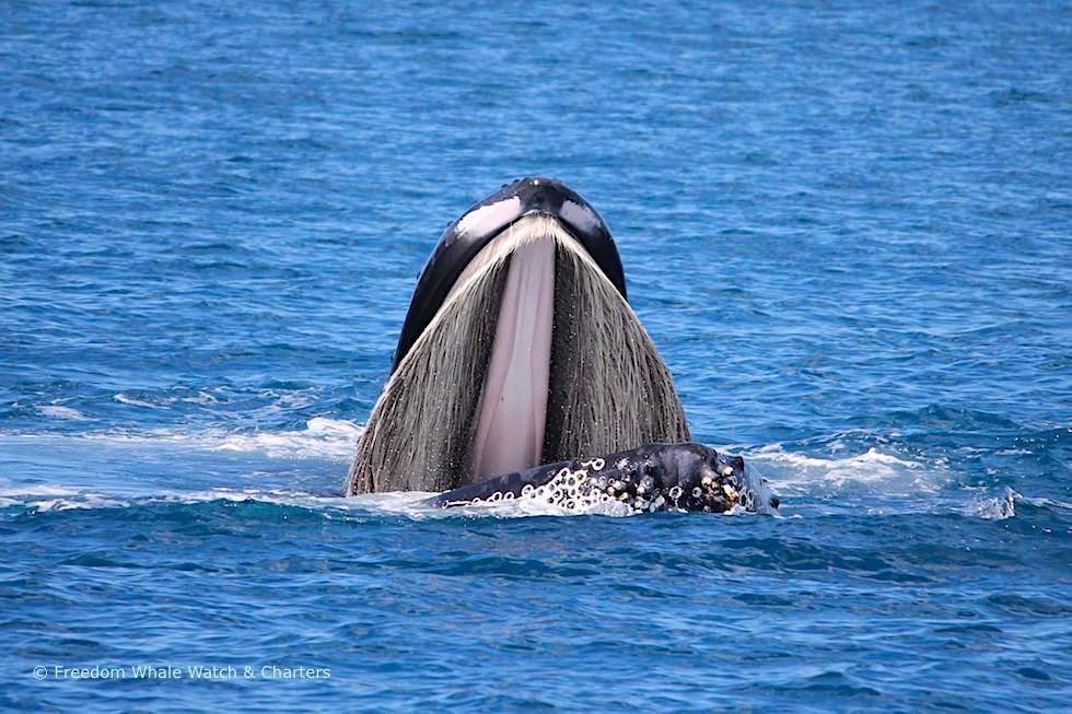 Humpback Whale oder Buckelwal mit offenen Mund - Freedom Whale Watch - Hervey Bay - Queensland