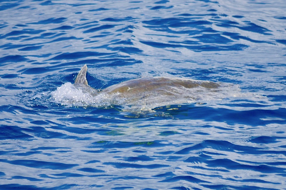 Meeresschildkröte schwimmt an der Wasseroberfläche - Hervey Bay - Queensland