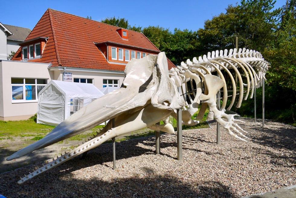 Nationalpark Haus Wangerooge - Pottwal Skelett - Ostfriesische Inseln - Nordsee