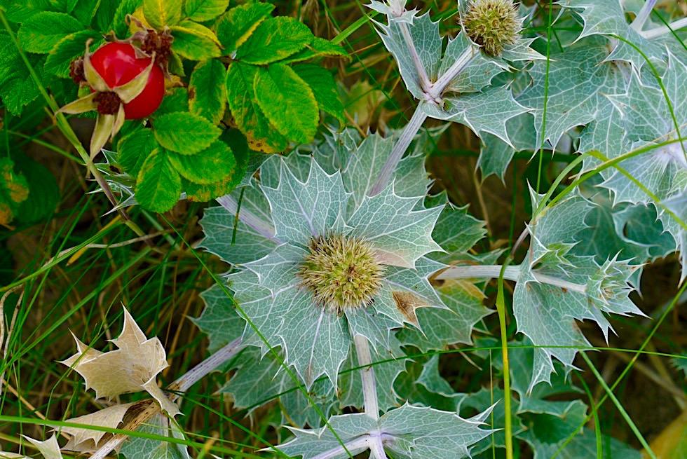 Schöne, bedrohte Stranddistel - Pflanze der Weißdünen & Graudünen - Ostfriesische Inseln - Nationalpark Wattenmeer - Nordsee