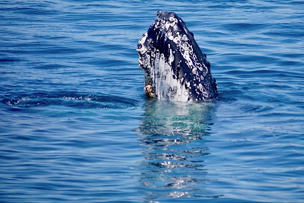Hervey Bay Walbeobachtung - Empfehlung: Ganztagestour mit Freedom Whale Watch - Queensland