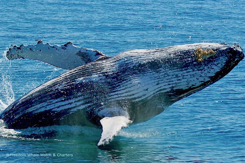Walbeobachtungstouren in Hervey Bay - Was kannst du erwarten? - Queensland
