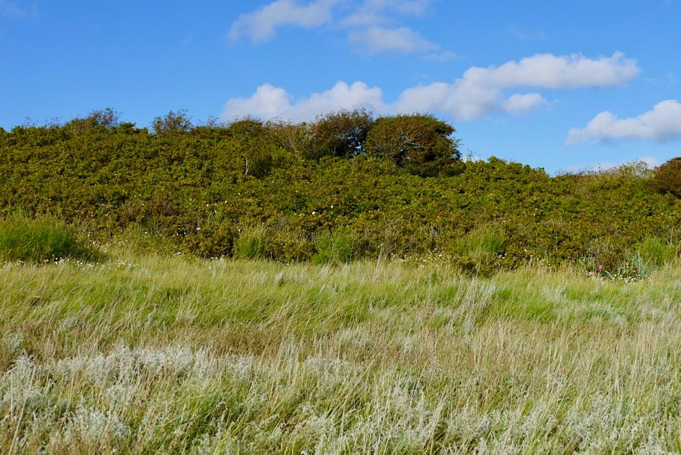 Wangerooge - Ansteigende Salzwiesen im Osten: je höher desto weniger Salzwasser - Ostfriesische Inseln - Nationalpark Wattenmeer & Nordsee
