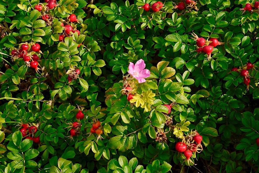 Wangerooge - Kartoffelrosen, ein Rosen- & Hagebuttengewächs, ist überall zu sehen - Ostfriesische Inseln - Nordsee