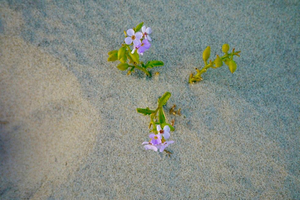 Wangerooge: Der Osten - Sandstrand mit Blume - Ostfriesische Inseln - Nordsee