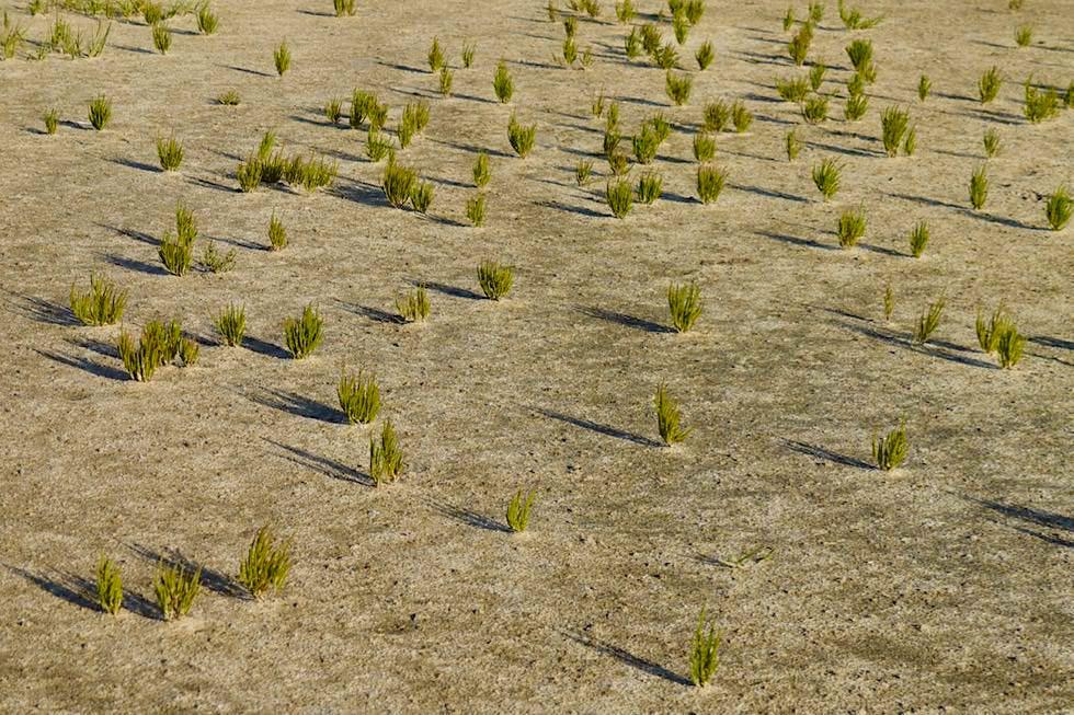 Wangerooge - Leckere Salzwiesenpflanze: Queller - Ostfriesische Inseln - Nationalpark Wattenmeer & Nordsee