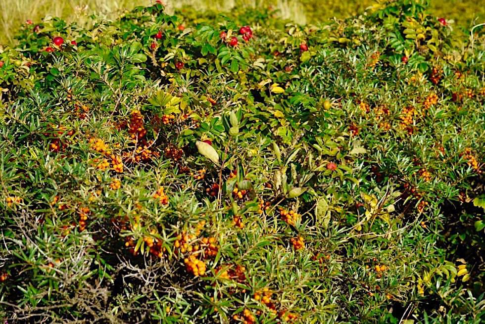 Wangerooge - Sanddornbüsche sind überall in den älteren Sanddünen zu finden - Ostfriesische Inseln - Nordsee