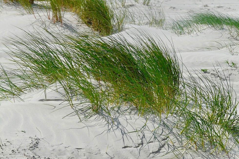 Wangerooge - Junge Sanddünen mit Strandhafer - Ostfriesische Inseln - Nationalpark Wattenmeer - Nordsee