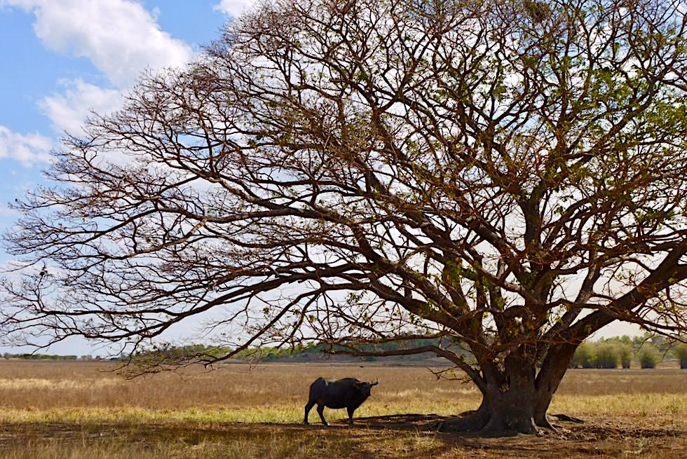 Adelaide River Wetlands - Gigantischer Baum & Büffel - Northern Territory