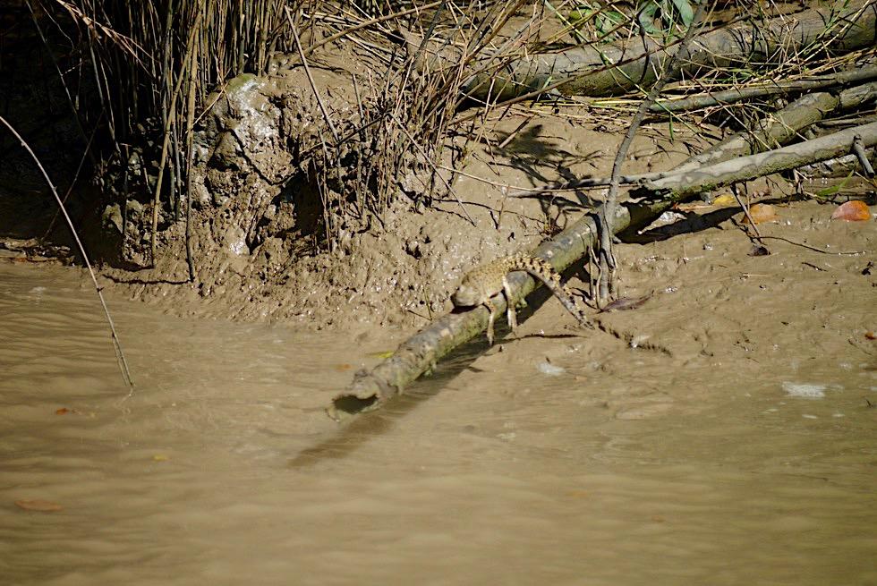 Baby-Salzwasserkrokodile haben viele Fressfeinde - Adelaide River - Northern Territory