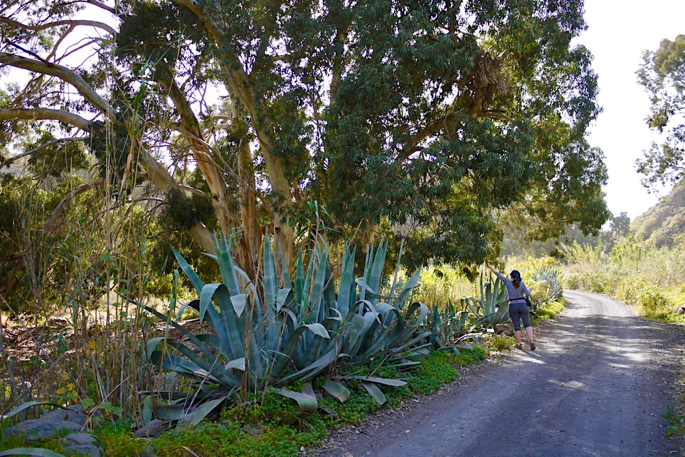 Valsequillo - Wanderroute 10: Barranco San Miguel - mannshohe Agaven & riesige Eukalypten - Gran Canaria