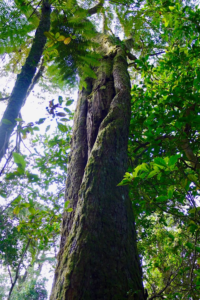 Border Ranges National Park - Antartic Beech Tree: Dinosaurier unter den Bäumen - New South Wales