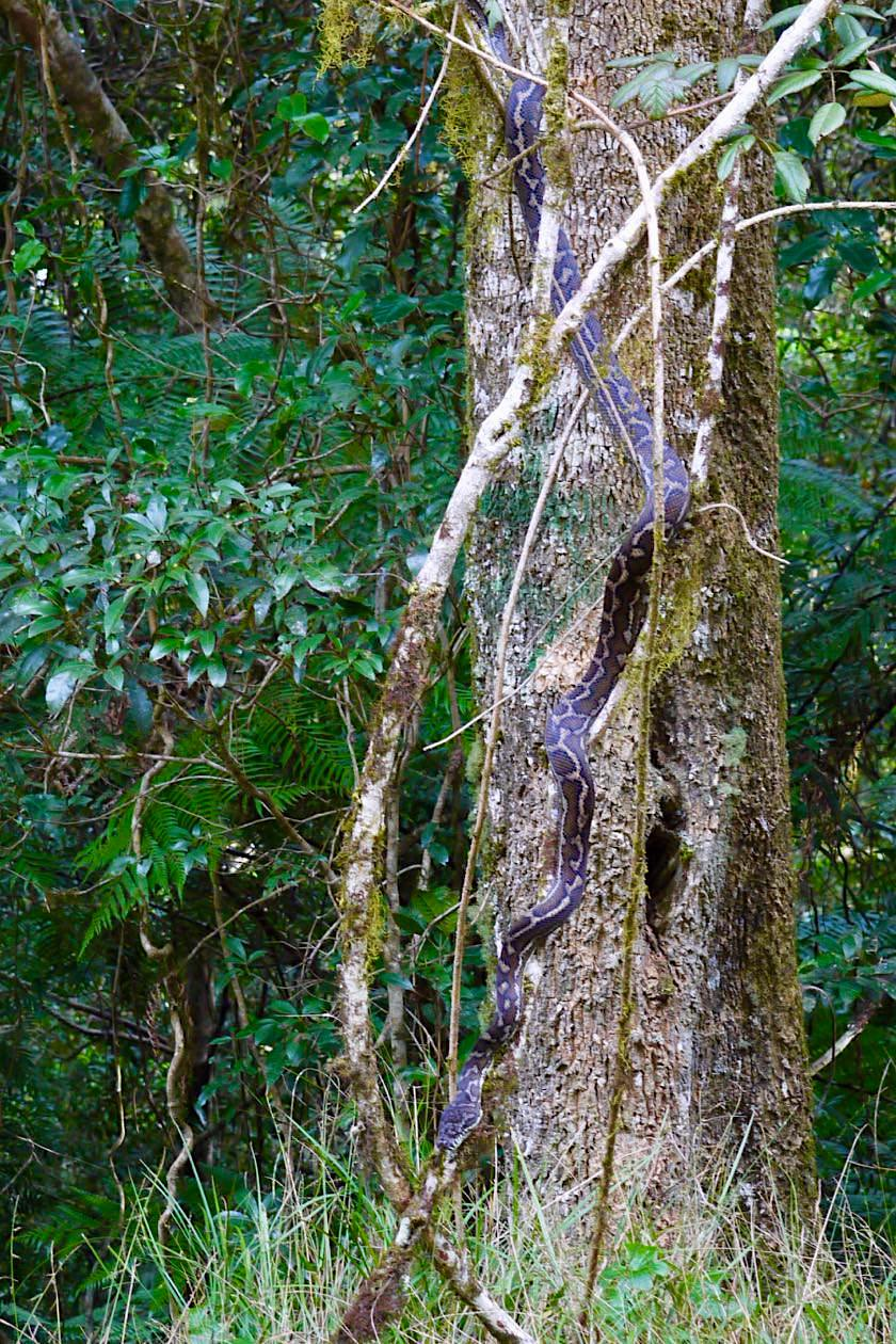 Border Ranges National Park - Carpet Python am Baum hängend - New South Wales