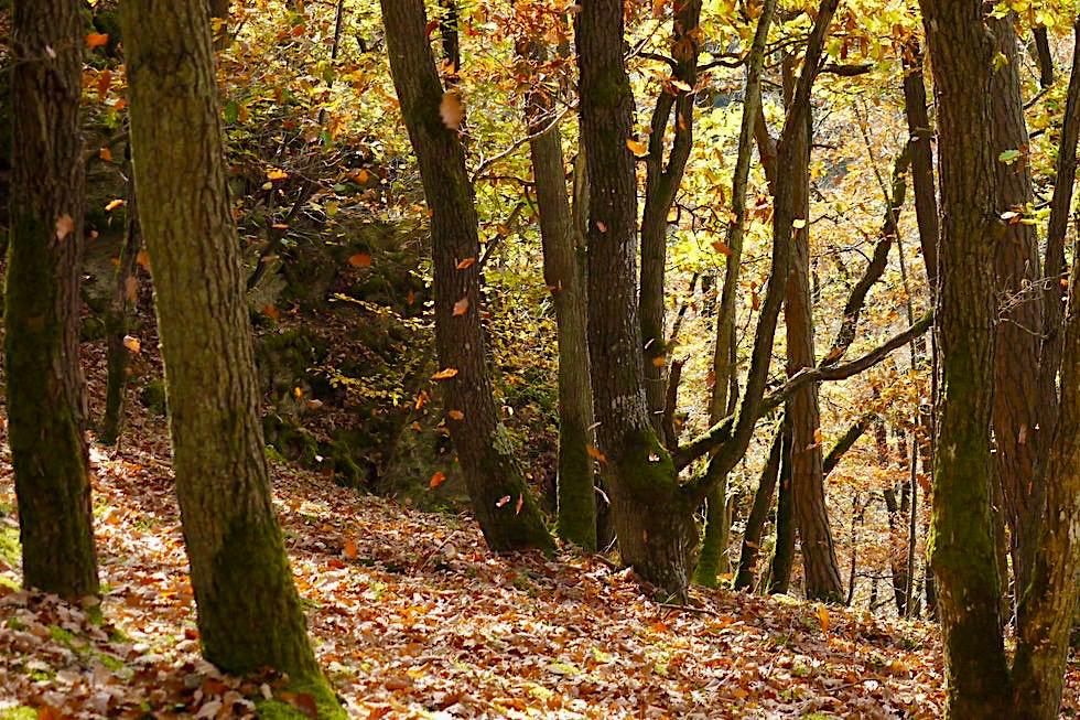 Traumschleife Ehrbachklamm - Fallende Blätter im Wald wie bei Sterntaler - Hunsrück Wanderung - Rheinland-Pfalz