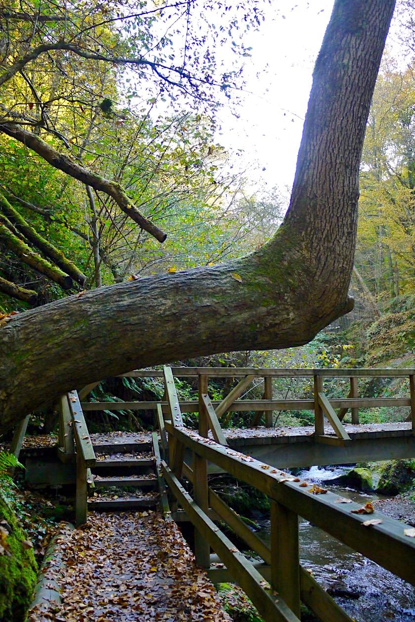 Ehrbachklamm Highlight - Baum, der im rechten Winkel weiterwächst & schöne Holzbrücke - Hunsrück Wanderung - Rheinland-Pfalz