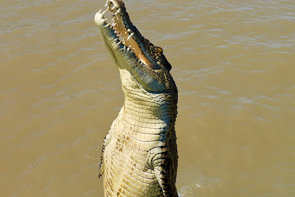 Jumping Crocodile Cruise - Springende Salzwasserkrokodile: Highlight Top End - Adelaide River - Northern Territory