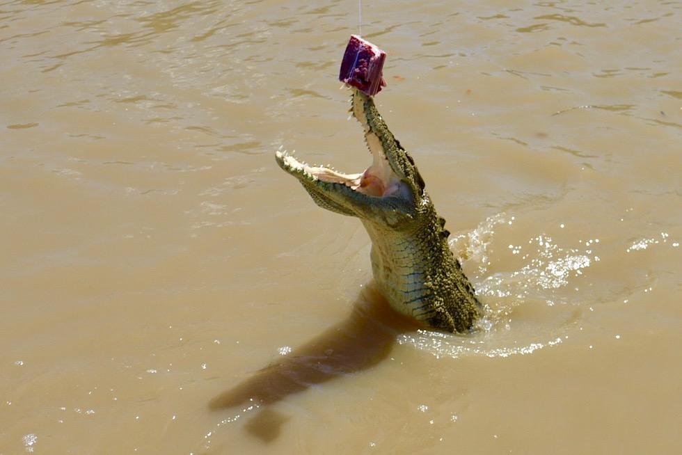 Jumping Crocodile - Springendes Krokodil packt Köder - Adelaide River - Northern Territory
