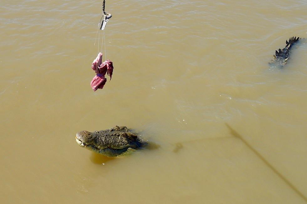 Jumping Crocodile - kurz vor dem Sprung - Adelaide River - Northern Territory