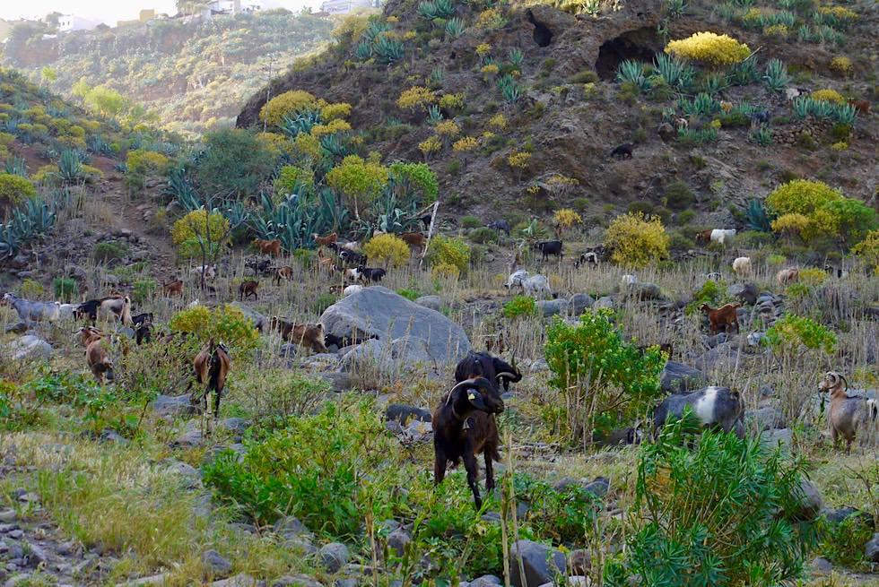 Route 10 Wanderung - Barranco de San Miguel: Wilde Ziegen beim Weiden - Valsequillo de Gran Canaria