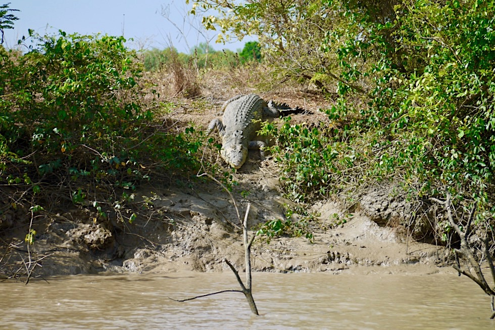 """Salzwasserkrokodil oder """"Saltie"""" geht ins Wasser - Adelaide River - Northern Territory"""
