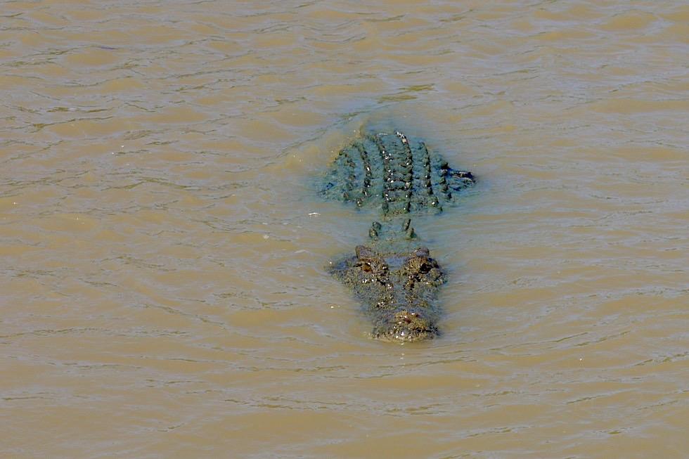 Salzwasserkrokodil im Adelaide River - Northern Territory