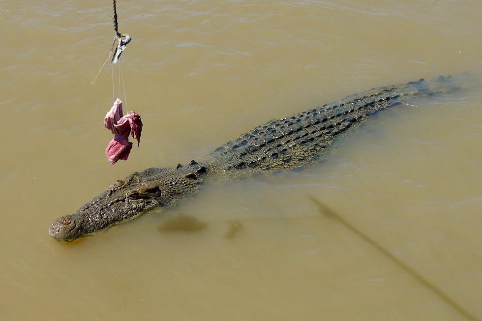 Salzwasserkrokodil unter dem Köder - Jumping Crocodile Cruise - Adelaide River - Northern Territory