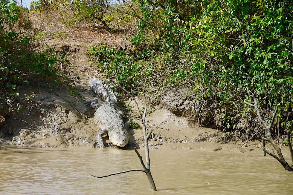 Salzwasserkrokodil gleitet vom Ufer ins Wasser - Adelaide River - Northern Territory