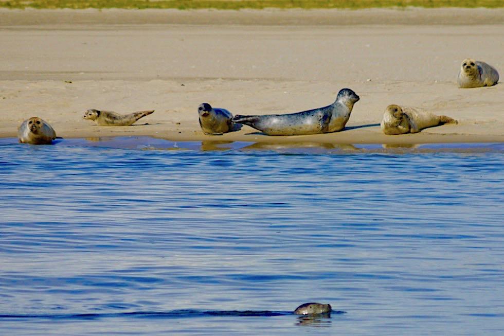 Seehunde bei der Strandgymnastik & beim Pilates - Spiekeroog - Ostfriesische Inseln