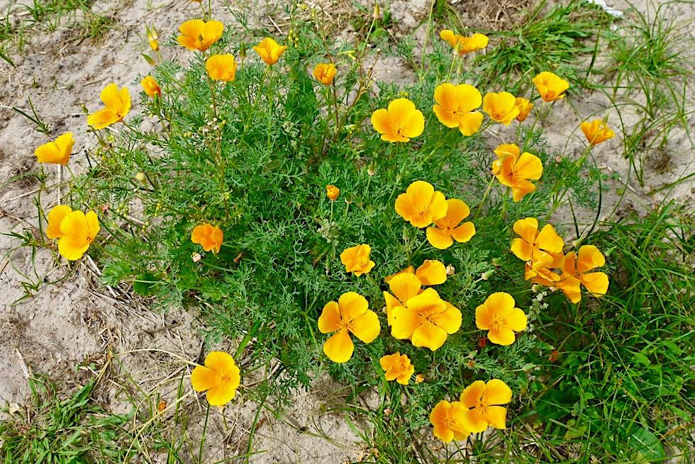Spiekeroog - Von Frühling bis Spätherbst: Blühende Blumen in den Dünen - Ostfriesische Inseln