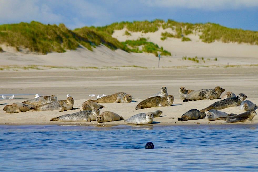 Spiekeroog Highlight: Seehunde im Osten der Insel - Ostfriesische Inseln