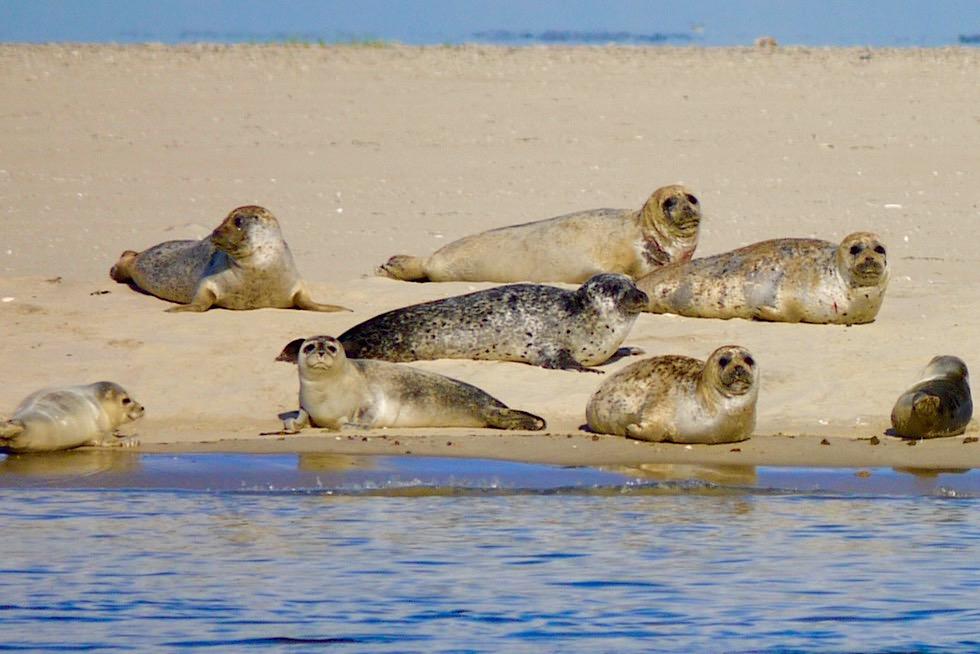 Unterschied Seehunde Seelöwen Seebären: Ostplate & Seehunde auf Sandbänken - Ostfriesische Inseln
