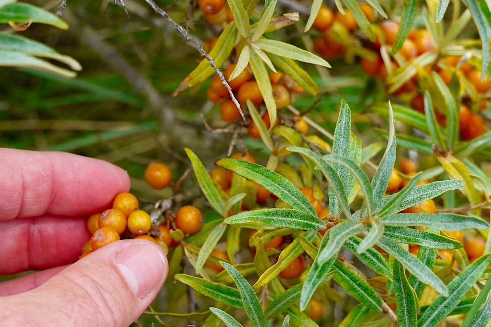 Spiekeroog - Sanddorn: Leuchtend orangefarbene Früchte, die lecker schmecken - Ostfriesische Inseln