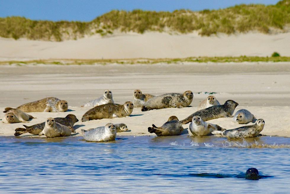Spiekeroog - Seehund-Sichtung: ein Highlight bei der Überfahrt mit dem Wassertaxi - Ostfriesische Inseln