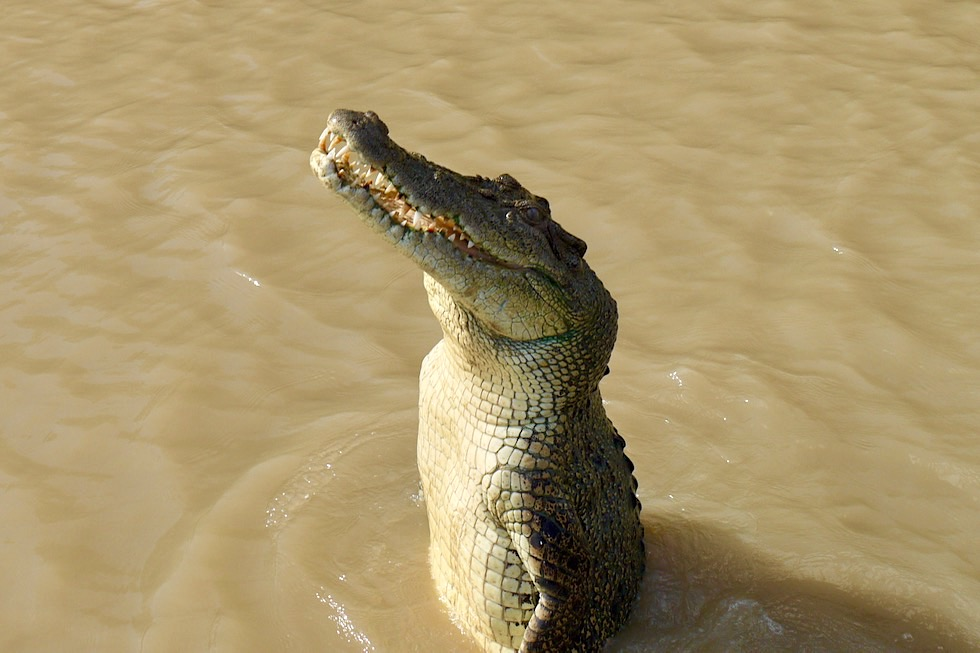 Faszination pur: Springendes Krokodil - Jumping Crocodile & Adelaide River Cruise - Northern Territory