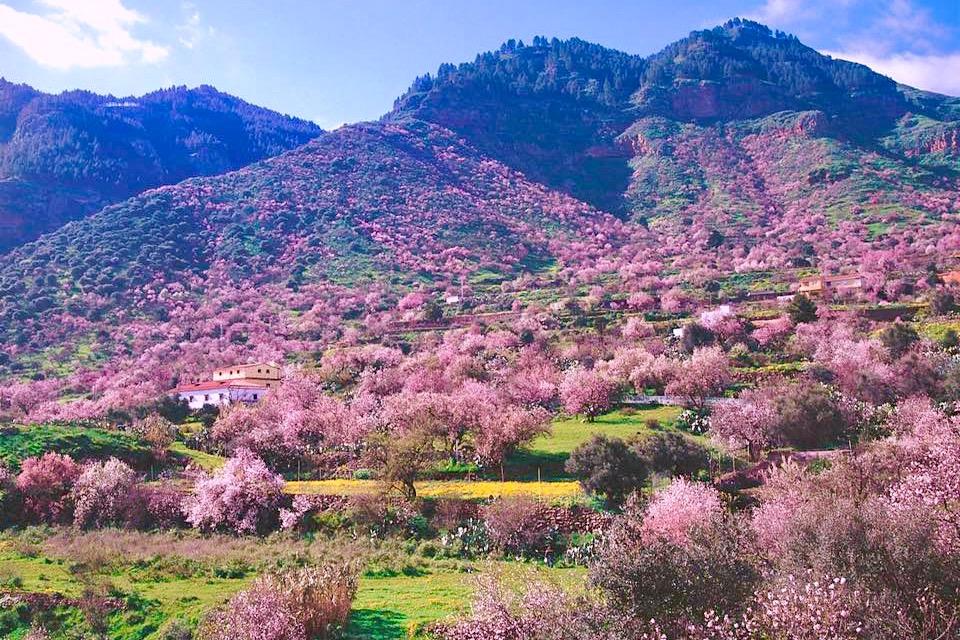 Valsequillo im Januar & Februar - Einmalig schönes Mandelblüten-Meer - Gran Canaria