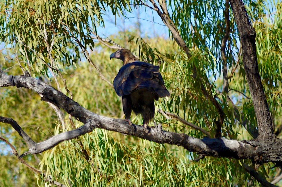 Wedge-tailed Eagle oder Keilschwanzadler gesehen im Outback von Queensland