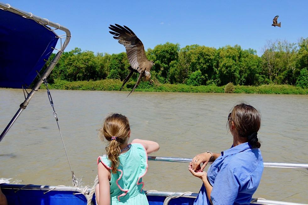 Whistling Kite oder Keilschwanzweih: Fütterung auf der Jumping Crocodile Cruise - Adelaide River - Northern Territory