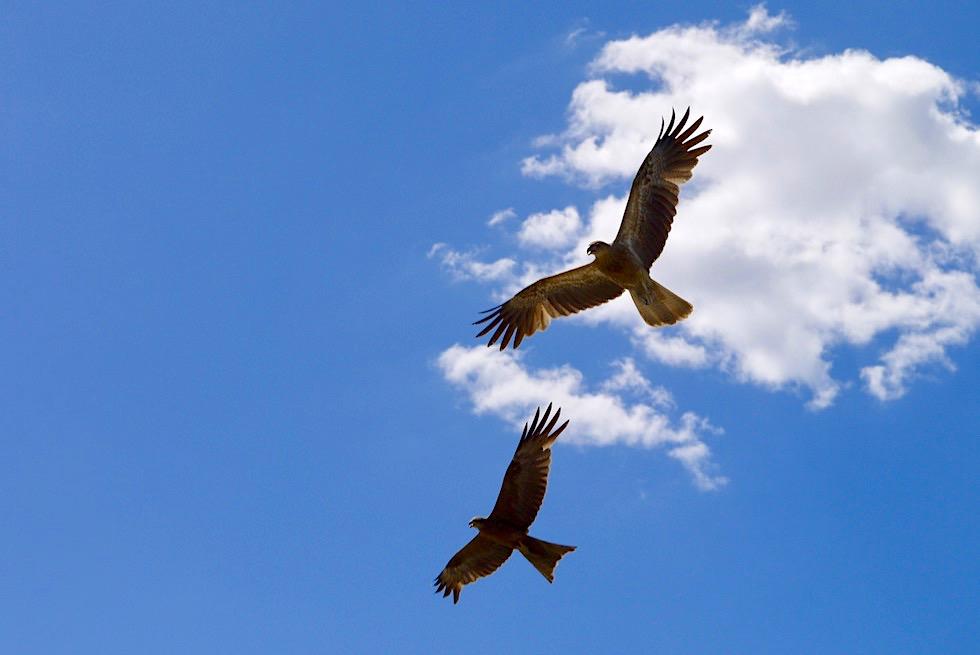 Whistling Kite oder Keilschwanzweih im Flug - Adelaide River - Northern Territory