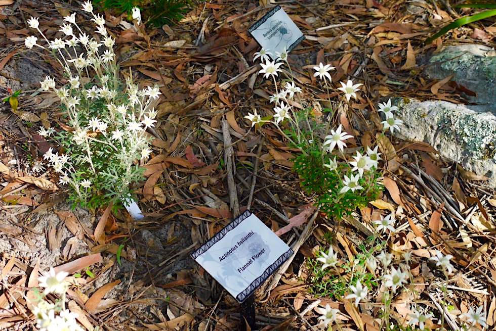 Booderee National Park - Flannel Flower im Botanical Gardens: Edelweiß auf australisch? - New South Wales