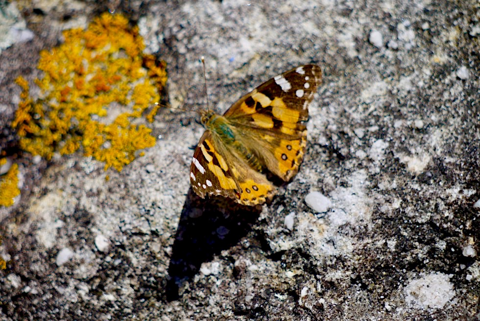Booderee National Park - Governor Head: Schmetterling auf einem Felsen - New South Wales