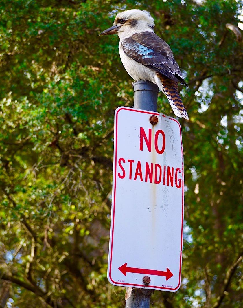 Booderee National Park - Tierischer australischer Humor: Kookaburra bzw. Jägerliste - New South Wales