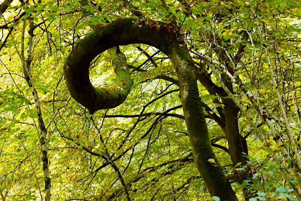 Klüsserather Sagenweg: Wunderschöne Seitensprung Wanderung - Ein Teilstück führt durch ursprüngliche Wälder - Rheinland-Pfalz Reisetipps